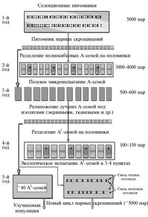 Схема селекции озимой ржи с