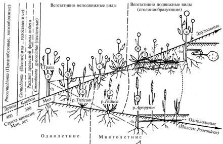 Схема развития побега